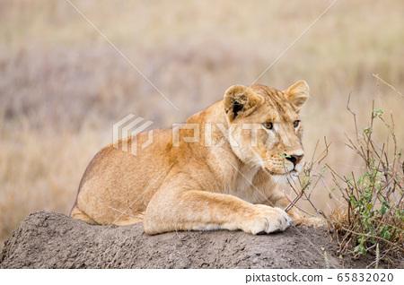 Lioness close up. Serengeti National Park, 65832020