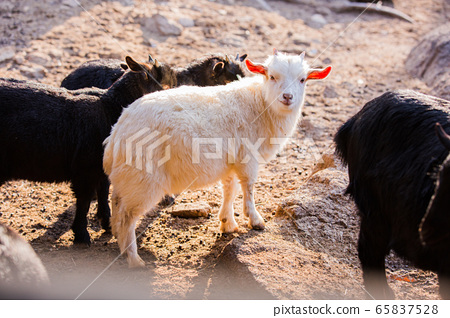 Animal Farm - ostrich, sheep, black goat, cattle and chicken 067 65837528