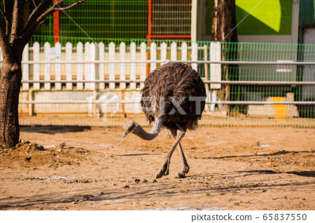 Animal Farm - ostrich, sheep, black goat, cattle and chicken 039 65837550
