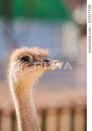 Animal Farm - ostrich, sheep, black goat, cattle and chicken 038 65837586