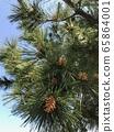 Pine flowers 65864001