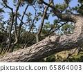 Pine trees along the coast 65864003