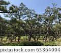 Shonan pine forest 65864004
