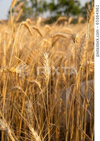 臺灣台南將軍麥田及稻田Tainan General Wheat and Rice Fields 65864961