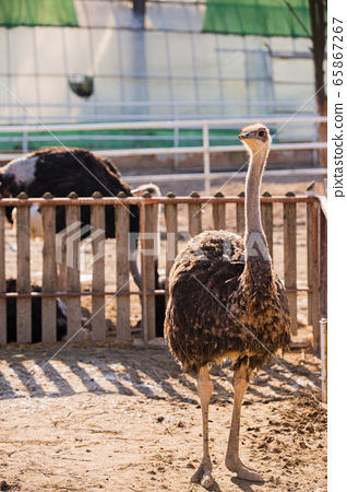 Animal Farm - ostrich, sheep, black goat, cattle and chicken 026 65867267