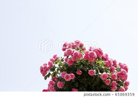 Pink rose, rose 65869359