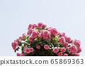玫瑰,粉紅玫瑰 65869363