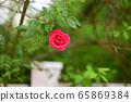 Boramae Park, Rose 65869384