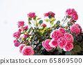 玫瑰,粉紅玫瑰 65869500