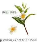 Camellia sinensis, green tea branch with flowers 65871540
