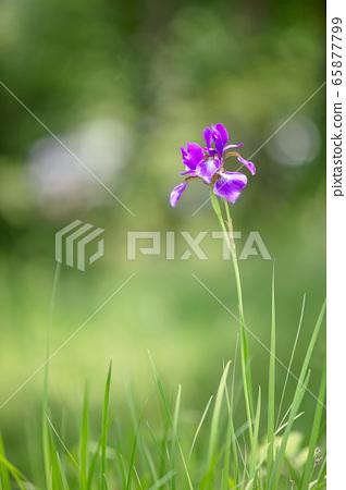 오후 빛에 빛나는 타래붓꽃 65877799