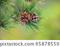 Pine branch with cones on a natural background 65878550