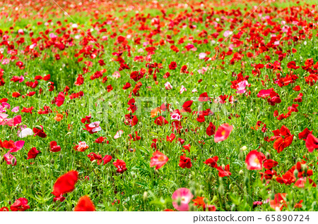 양귀비 꽃밭 국영 미치 노쿠 숲의 호수 공원 미야기 현 가와사키 정 65890724