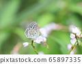 Yamato Shijimi sucking wildflowers nectar 65897335