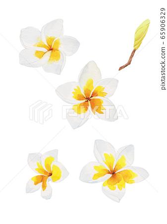 Tropical Plant Watercolor-White Plumeria 65906329