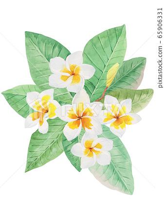 熱帶植物水彩白雞蛋花 65906331