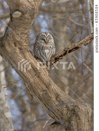 Ezo Owl 65908584