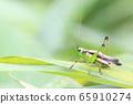 Grasshopper eating leaves 65910274