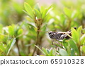 Grasshopper eating young leaves 65910328
