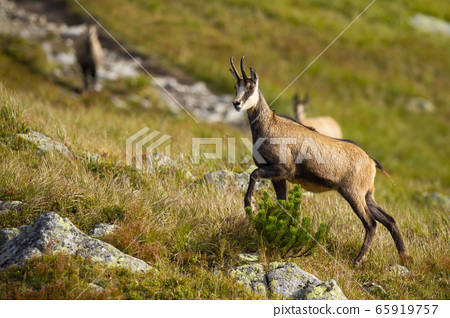 Tatra chamois walking up a hill with rocks and dry grass in mountains 65919757