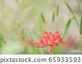 Cluster amaryllis autumnal image 65933593