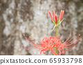 Cluster amaryllis autumn image of manju sasa at the base of a giant tree 65933798