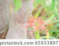Cluster amaryllis autumn image of mandarin flower 65933897