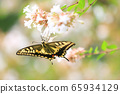 Swallowtail sucking nectar 65934129