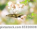 Swallowtail sucking nectar 65936608