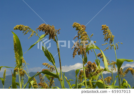 高粱米,高粱,植物,五穀,食物,種植,生長 65937013