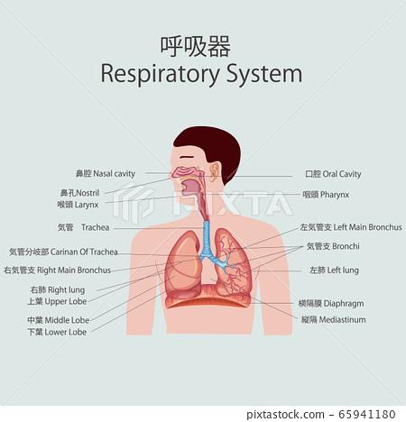 呼吸器官 65941180