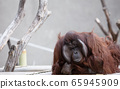 It is bred in a zoo and it is an orangutan. 65945909