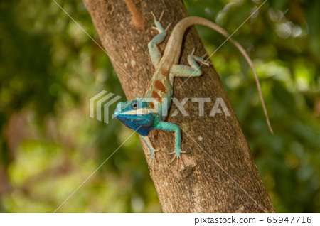 Blue chameleon on the tree 65947716