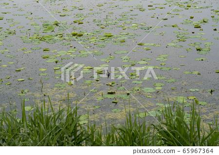 A lotus leaf 65967364