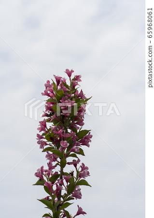 붉은병꽃나무 65968061