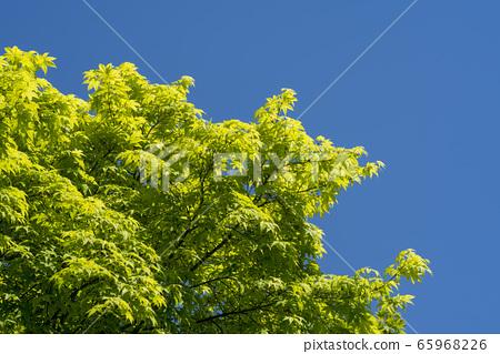단풍나무 65968226