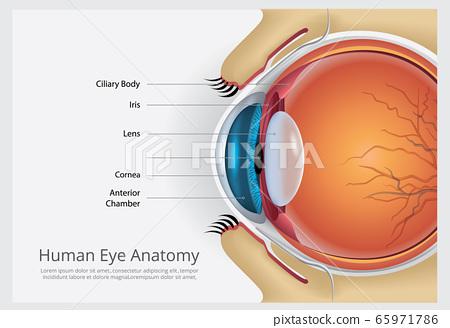 Human Eye Anatomy Vector Illustration 65971786