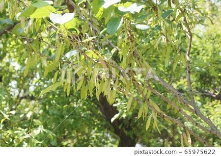 박태기 나무의 레귐 65975622