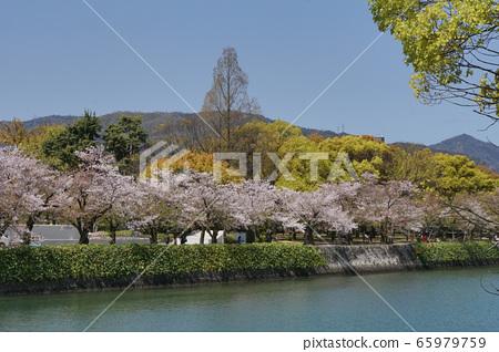 和平公園和櫻花 65979759