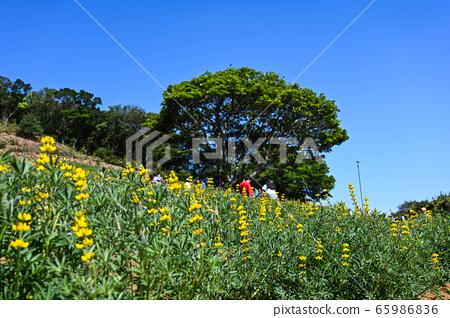 龍潭鹿峰花季,黃色羅湖花,內羽菜豆,玫瑰眼,豆類,羽扇豆植物 65986836