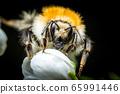 Bumblebee macro photo 65991446
