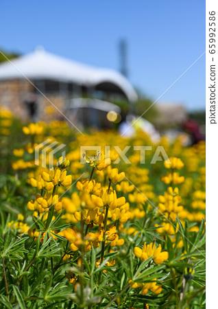 龍潭鹿峰花季,黃色羅湖花,內羽菜豆,玫瑰眼,豆類,羽扇豆植物 65992586