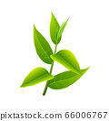 Branch of green tea. Vector illustration with 66006767