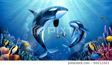 Killer whales family with coral 66012883