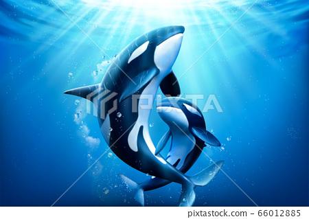 Adorable killer whales family 66012885