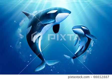 Adorable killer whales family 66012887