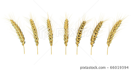 golden ears of corn on a white background 66019394