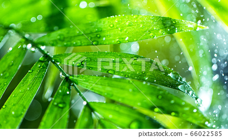 fresh green leaves with water drops over the water 66022585