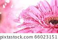 Beautiful gerbera bloom with water drops 66023151