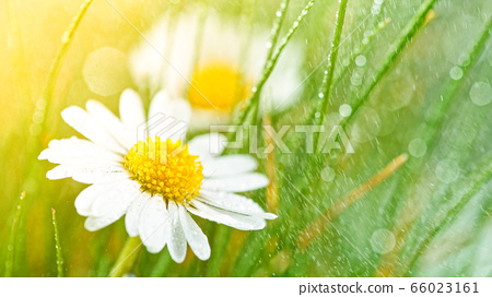 Chamomile flower with drops of water on the green 66023161